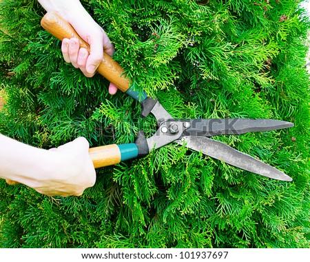 Hands with garden shears cut the green thuja.