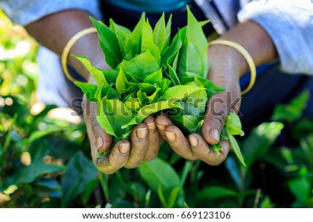 Hands with some tea in a tea fields in Sri Lanka