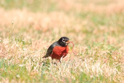 Handsome bird feathers beak male American robin red breast underparts gray wings dark eyes white eye ring green grass attractive background sunny spring afternoon Nottingham Maryland USA