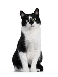 Handsome black and white house cat sitting up facing front. Looking straight ahead with green eyes. Isolated on white background.