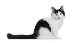 Handsome black and white Maine Coon cat kitten, sitting side ways. Looking at camera with brown eyes. Isolated on white background. Long tail stretched behind body.