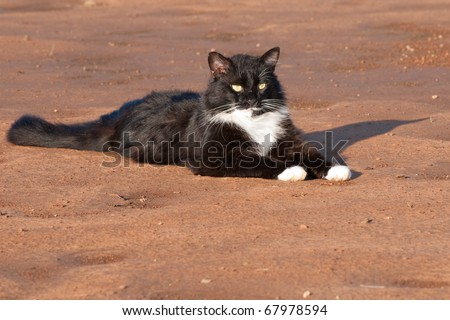 Handsome black and white tuxedo cat resting on red sand