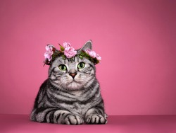 Handsome black silver blotched British Shorthair cat, laying down facing front wearing pink flower wrath on head.  Looking curious towards camera with green eyes. Isolated on pink background.