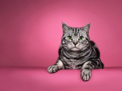 Handsome black silver blotched British Shorthair cat, laying down facing front with both paws hanging over edge. Looking curious towards camera with green eyes. Isolated on pink background.