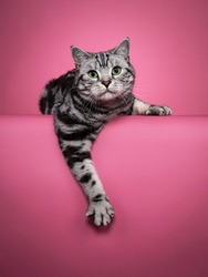 Handsome black silver blotched British Shorthair cat, laying down facing front with one paw hanging over edge. Looking curious towards camera with green eyes. Isolated on pink background.