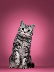 Handsome black silver blotched British Shorthair cat, sitting up   facing front. Looking curious towards camera with green eyes. Isolated on pink background. One paw playful in air.