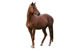 Handsome brown horse isolated on white background