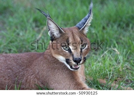 Handsome caracal wild cat or African lynx - stock photo