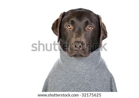 Handsome Chocolate Labrador in Grey Roll Neck Jumper
