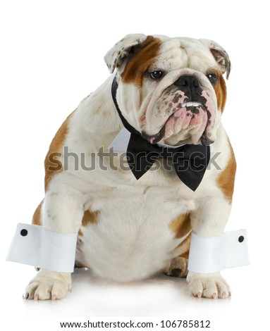 handsome dog - english bulldog dressed up with black bow tie and white cuffs