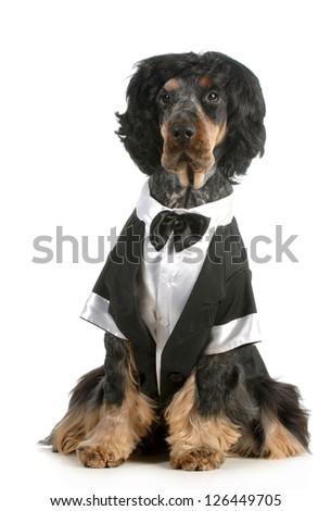 handsome dog - english cocker spaniel dressed up in tuxedo sitting isolated on white background