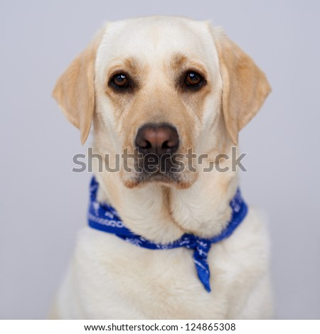 Handsome golden labrador retriever in a blue bib sitting facing directly towards the camera, head portrait on a grey studio background - stock photo