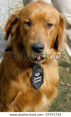 """handsome golden retriever dog with """"sloppy kisser"""" tie"""