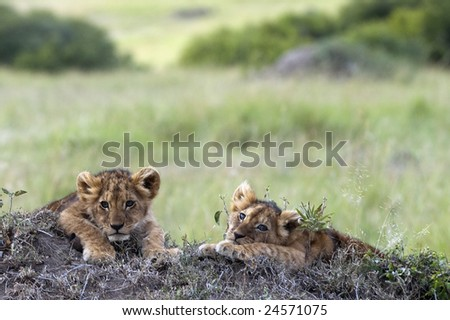 Handsome little lion cubs  resting on the top of termite mound in the savannah of Maasai Mara Natural reserve, Kenya, Africa