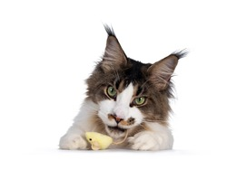 Handsome Maine Coon cat,hanging on edge with yellow toy mouse in mouth. Looking sneaky towards camera. Isolated on white background.