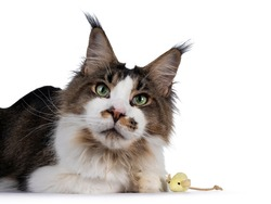 Handsome Maine Coon cat, laying down beside yellow toy mouse. Looking sneaky towards camera. Isolated on white background.