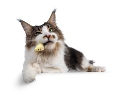 Handsome Maine Coon cat, laying down on edge with yellow toy mouse in mouth. Looking sneaky towards camera. Isolated on white background.