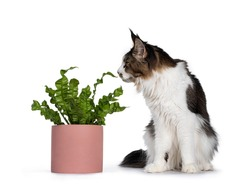 Handsome Maine Coon cat sitting beside green plant in pink pot, looking and sniffing at plant. Isolated on white background.