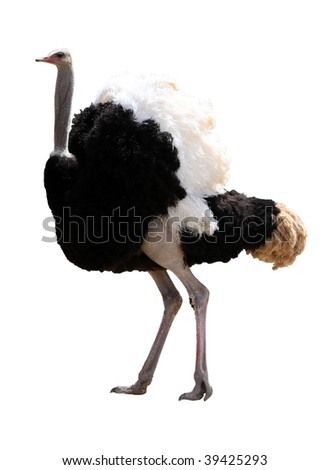 Handsome male ostrich with beautiful feathers isolated on white background
