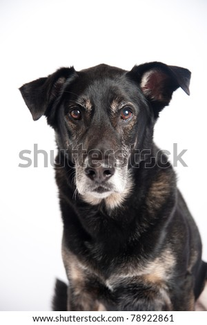 Handsome Old Black Dog Isolated on White Background