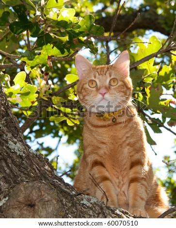 Handsome orange tabby cat up in a tree looking alert