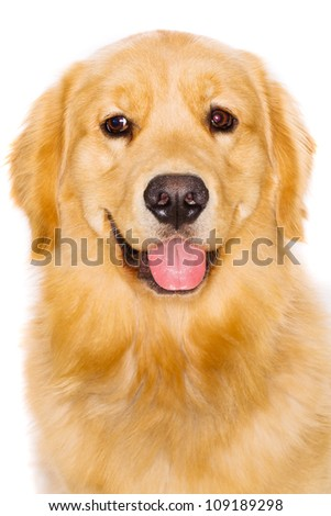 Handsome pure breed golden retriever dog