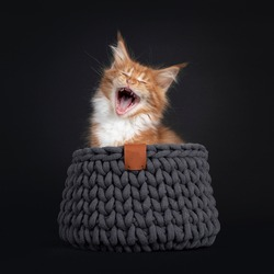 Handsome red with white Maine Coon cat kitten, sitting in grey knitted basket. Screaming, mouth wide open showing teeth. Isolated on black background.