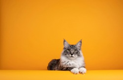 Handsome silver young Maine Coon cat, laying down facing front with paws over edge. Isolated on yellow orange background.