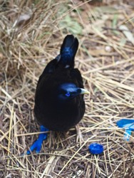Handsome Spellbinding Male Satin Bowerbird Carefully Displaying Blue Objects Around his Bower.
