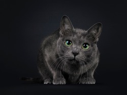 Handsome young adult Korat cat, laying dowb facing front. Looking curiously at camera with mesmerising green eyes. Isolated on black background.