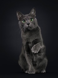 Handsome young adult Korat cat, sitting facing front. Looking at camera with mesmerising green eyes. One paw playful in air. Isolated on black background.