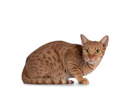 Handsome young adult Ocicat cat, laying down side ways. Looking towards camera. Isolated on a white background.