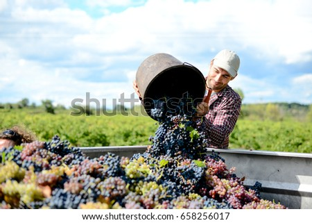 handsome young man winemaker in his vineyard during wine harvest emptying a grape bucket in tractor trailer