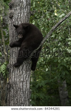 Hanging Around.  Young brown colored black bear (Ursus Amricanus) holds tight to a tree while looking at the ground below.  Young bears climb trees for safety.