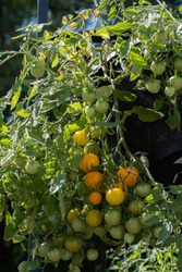 Hanging basket of Tumbling Tom tomatoes.