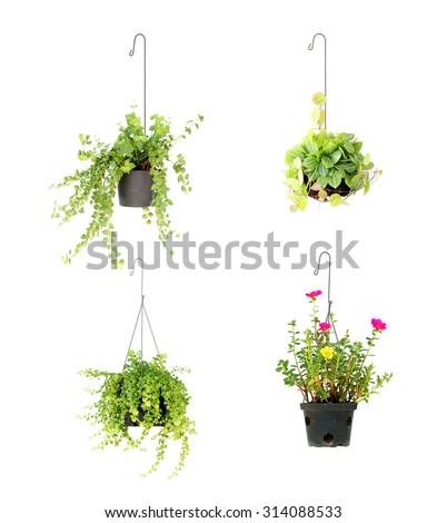 hanging basket plant isolated on white background #314088533