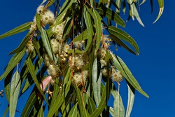Hanging branch with eucalyptus flowers, seedpods and leaves in South Africa