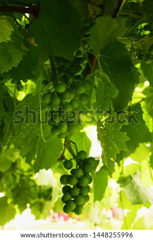 Hanging bunches of green grapes with leaves close-up #1448255996