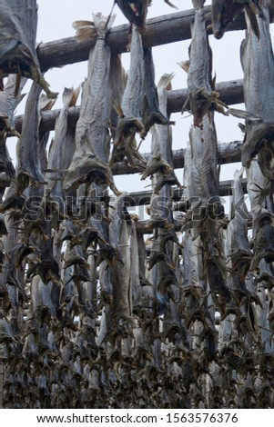 Hanging codfish, Moskenes, Lofoten, Norway, Scandinavia, Europe