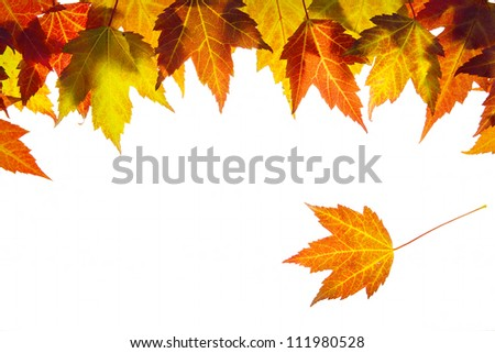 Hanging Fall Maple Leaves Border Isolated on White Background