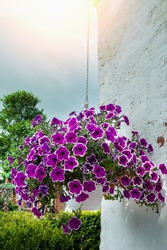Hanging flower basket with Petunia flowers. Vertical flowerbeds in the city. Flowers on the street. Urban decor. Summer in the city. Well-maintained streets. Pleasant atmosphere.