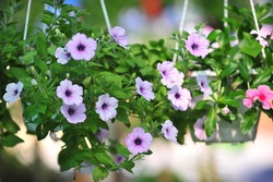Hanging flower pot plant ideas to enhance your veranda and home surroundings.( shallow dept of field)
