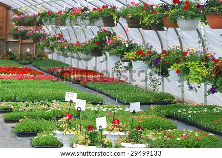 Hanging flowers inside greenhouse with other plants.