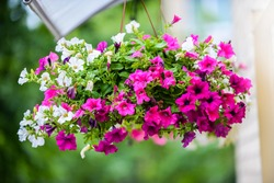 Hanging Flowers Pot Containing on The Roof. Pink and White Petunias