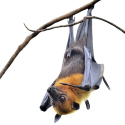 Hanging Flying Fox, big bat with open eyes in Halloween night isolated on white background