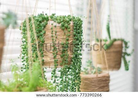 Hanging garden - succulent plants in similar twine pots, senecio rowleyanus