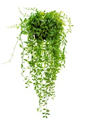 Hanging houseplant in pot for garden and home decoration isolated on white background