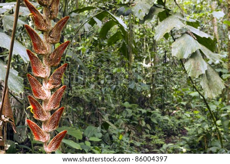 Hanging inflorescence of Heliconia velligera in tropical rainforest, Ecuador