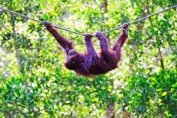 Hanging Orangutan on a rope in Sabah Borneo, Malaysia.