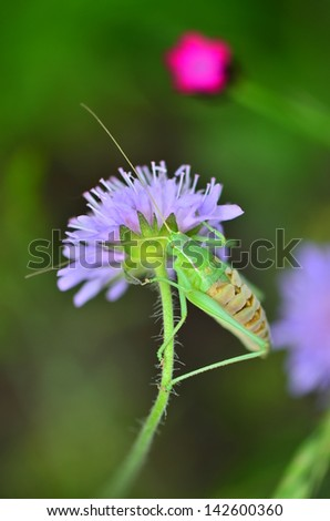 Hanging over a purple flower./ Beetle on a flower./ Hanging on a flower.